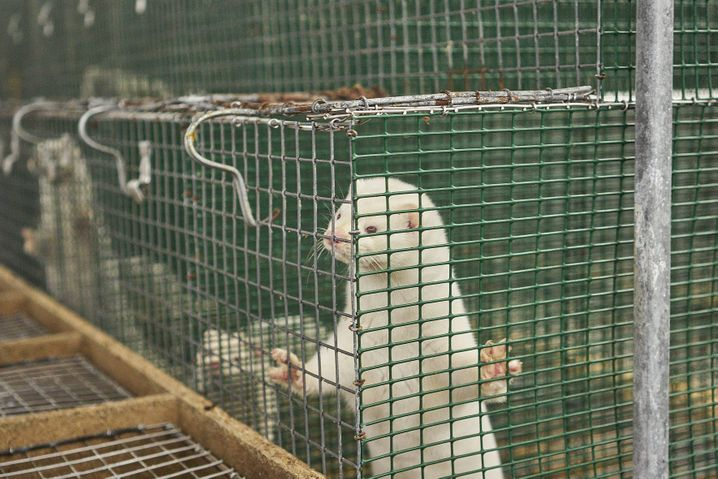 Nerzfarm: Tiere im Käfig