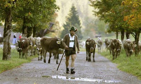 A Bavarian farmer walks with his cows south of Munich.