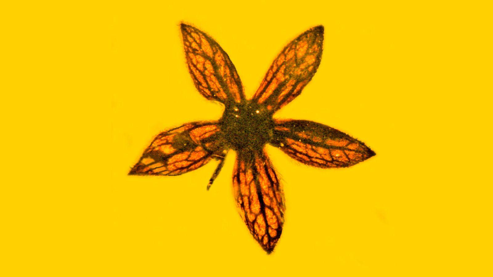 EINMALIGE VERWENDUNG Fossile Blume / Tropidogyne pentaptera