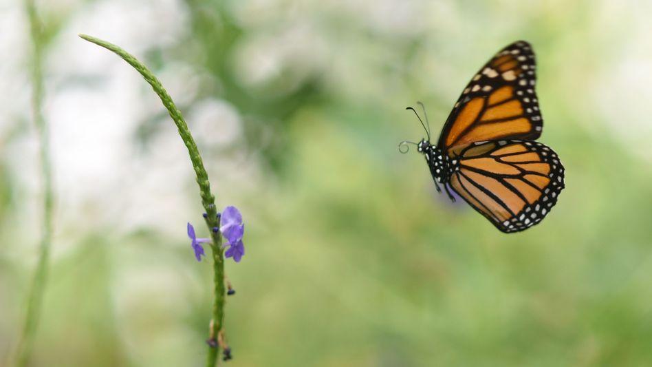 Orange-schwarz-weiß gezeichnete Flügel: der Monarchfalter