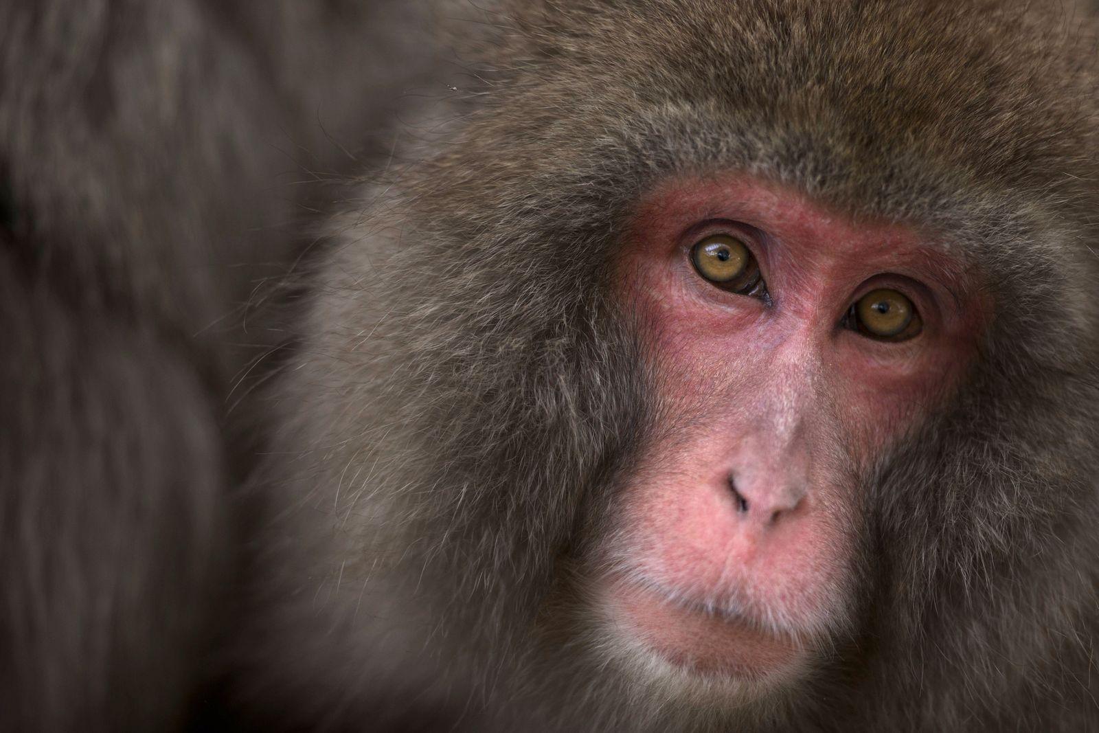 Japanese Macaque Macaca fuscata female portrait Jigokudani Yean Koen National Park Japan Februa