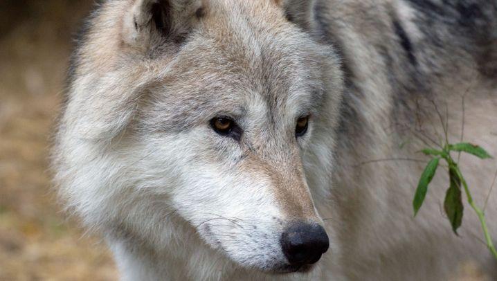 Verhaltensforschung: Der Wolf als Spiegel des Menschen