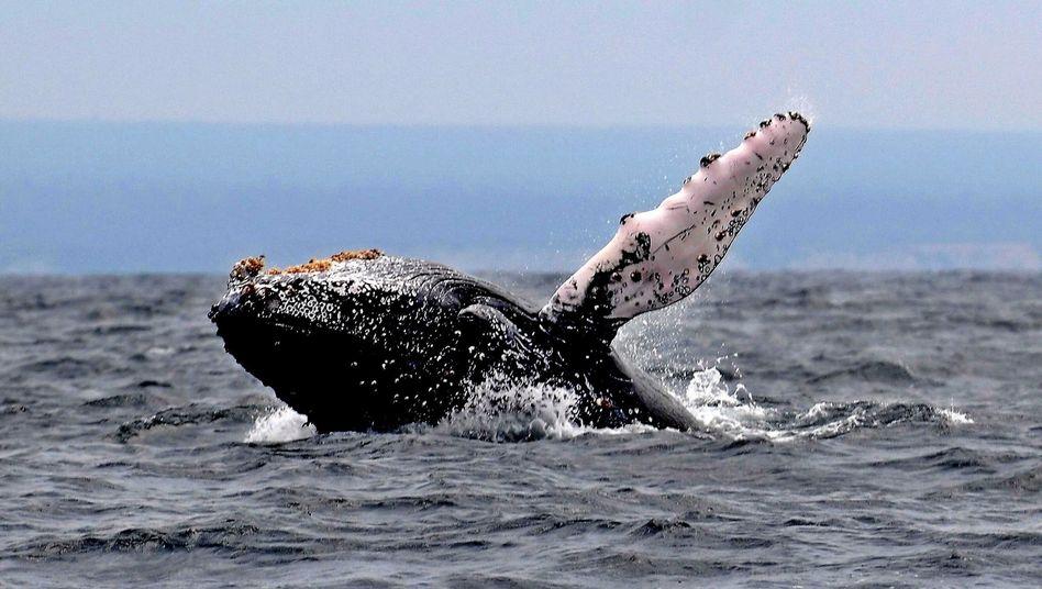 Buckelwal: Weibchen legt rekordverdächtige Strecke zurück