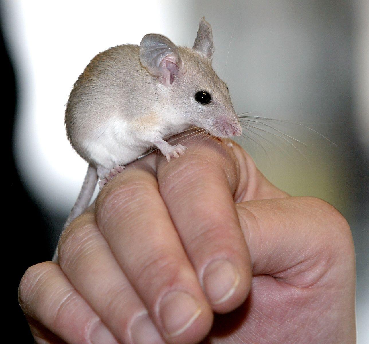 NICHT VERWENDEN Wissenswert: Warum so viel Maus im Menschen steckt
