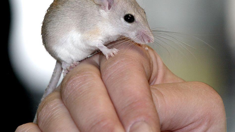 Maus: Viren im Entenkot gerochen