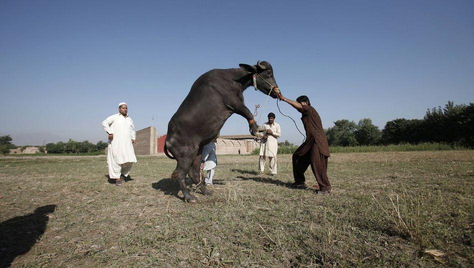 Büffel vor der Schlachtung in Pakistan: Leder zu Geld machen