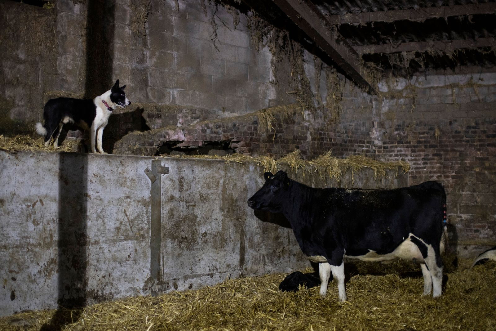 A No-Deal Brexit Poses Significant Threat To The Dairy Industry