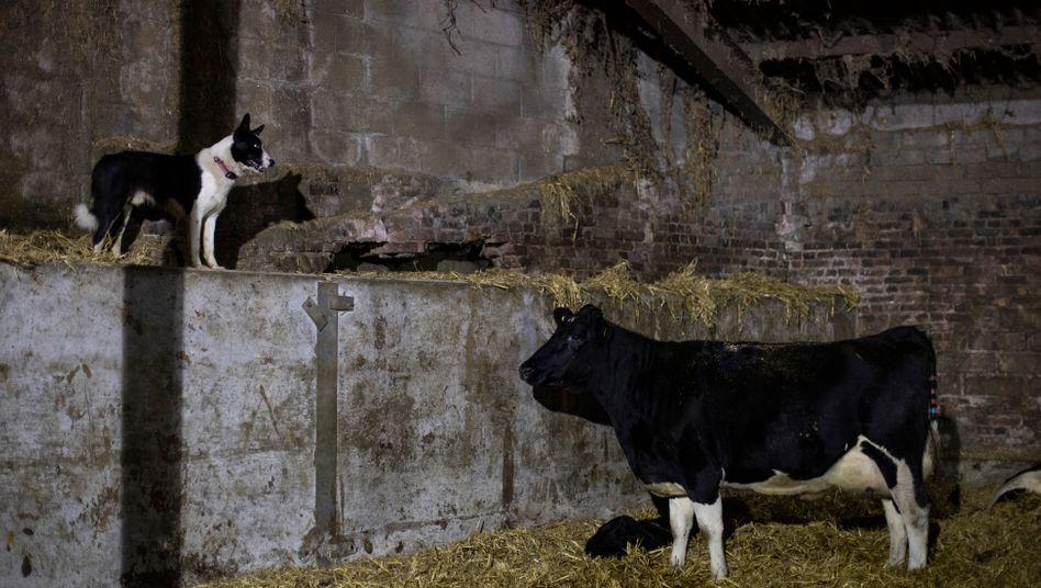 Aufgepasst: Auf einer Farm in der Grafschaft Kent wacht ein Hund