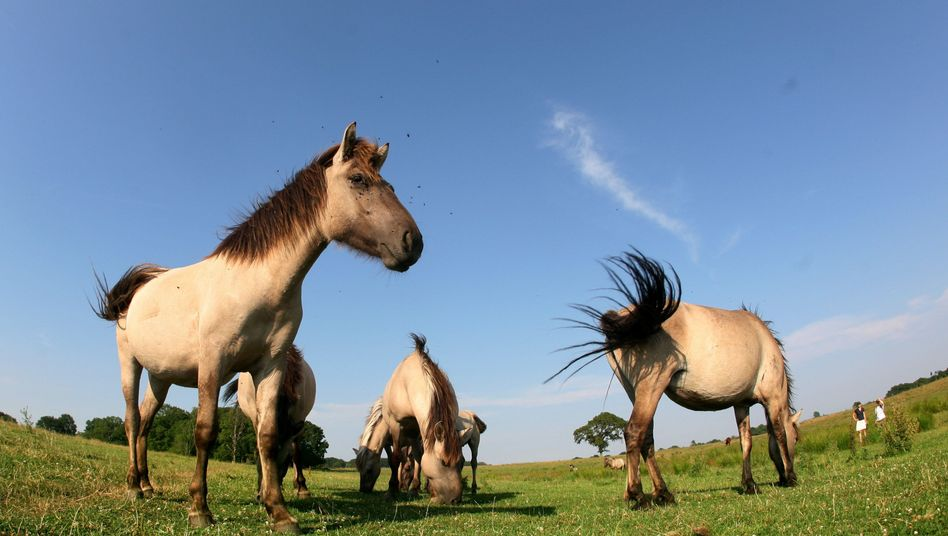 Die gleiche Urmutter wie Haflinger oder Berber: Konik-Pferde