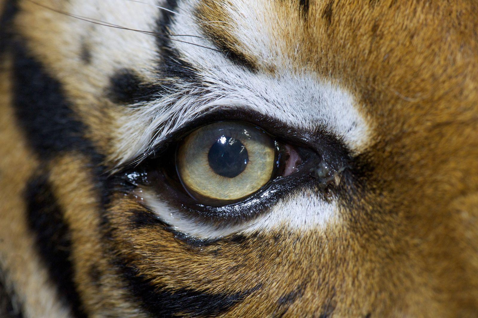Tieraugenquiz/ Tiger
