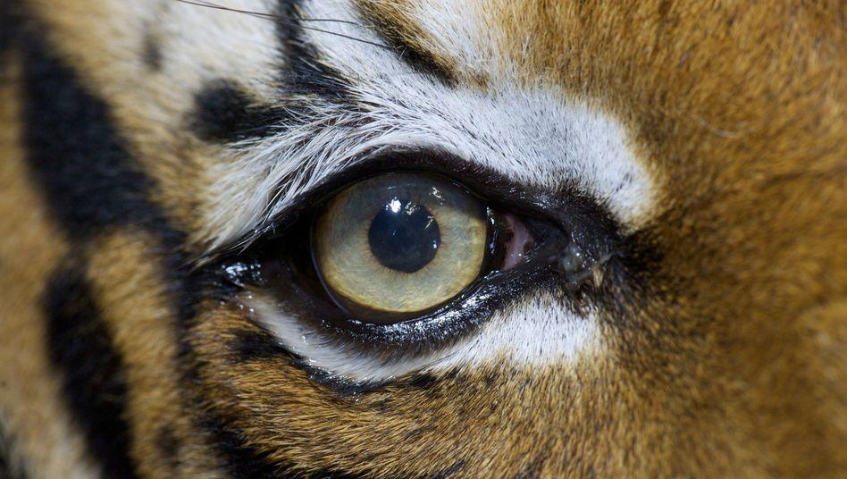 Tief blicken: Die Pupillenform verrät den großen Räuber
