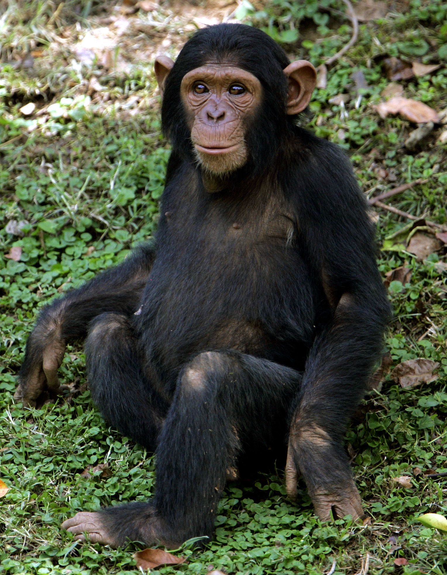 Schimpanse / Uganda