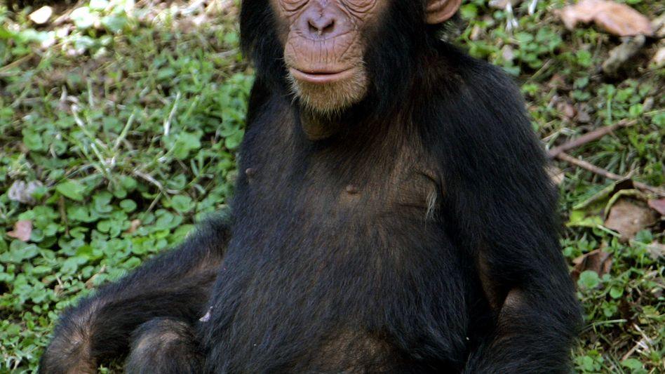 """Schimpansenmädchen in Uganda: Junge Affen mögen auch mit """"Puppen"""" spielen"""