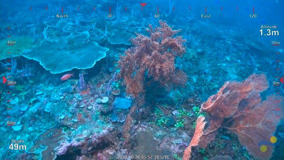 """Korallen vor den Kameras des ferngesteuerten Unterwasserfahrzeugs der """"Falkor"""""""