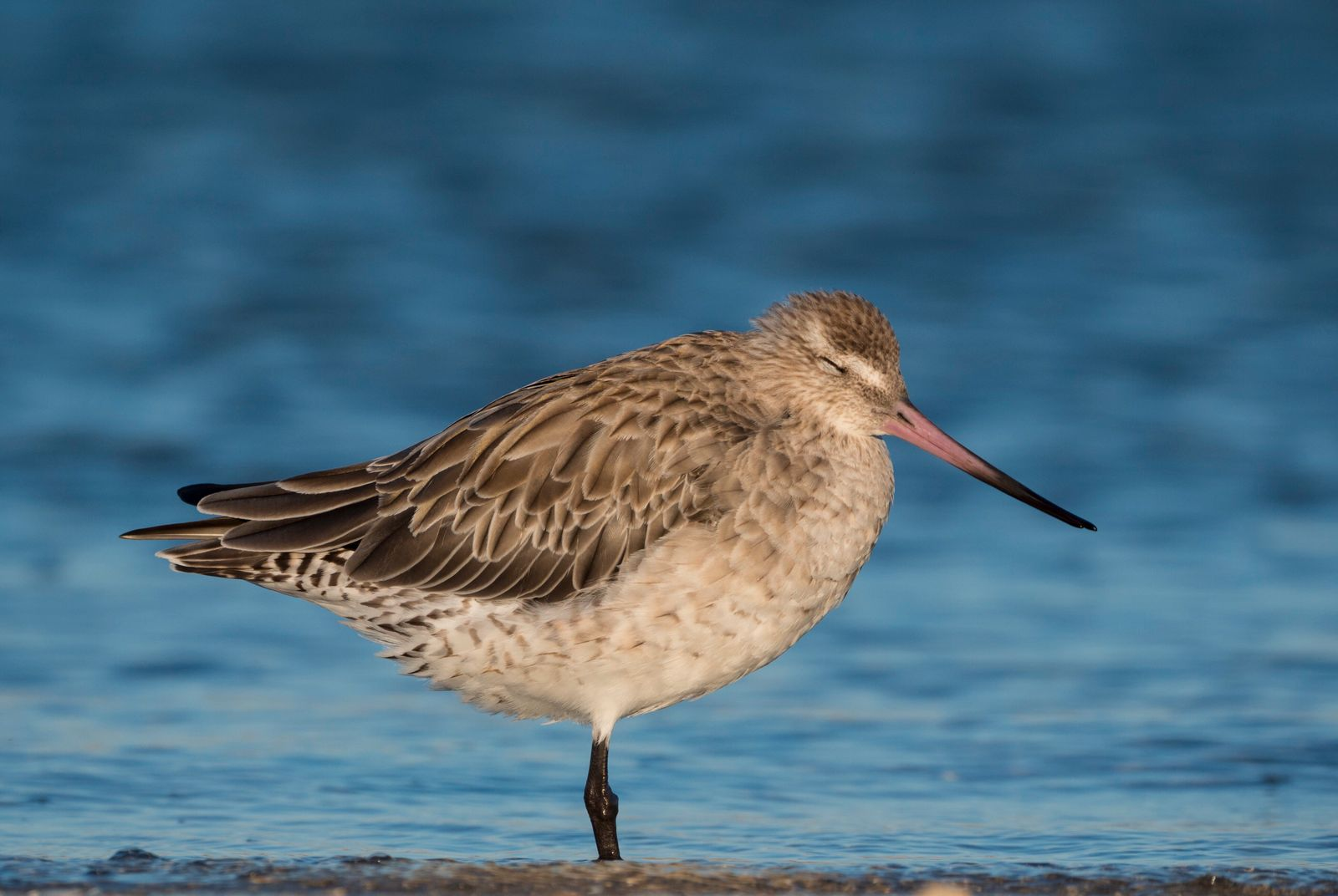 Bar-tailed godwit, Limosa lapponica, at Waipu Wildlife Refuge, Northland, New Zealand. (Ross Armstrong)