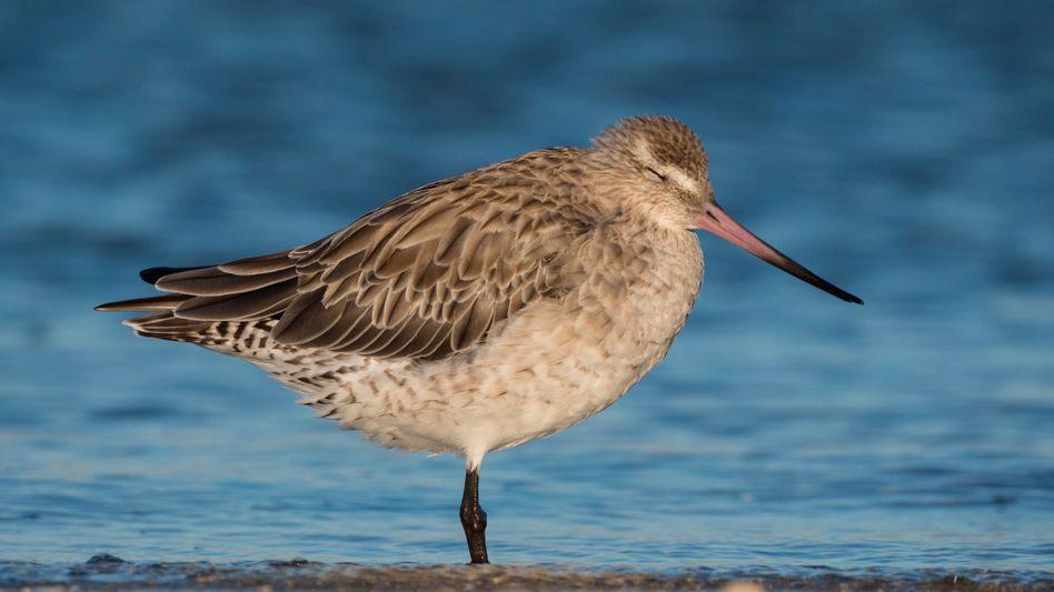 Pfuhlschnepfen sind Zugvögel und können große Distanzen zurücklegen.