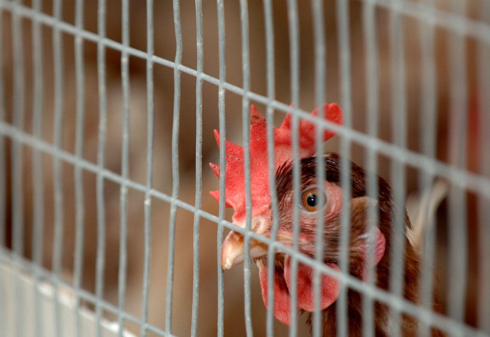 Huhn / Hühner / Zucht / Käfig / Symbolbild