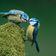 Hobbyforscher zählen so wenig Blaumeisen wie noch nie