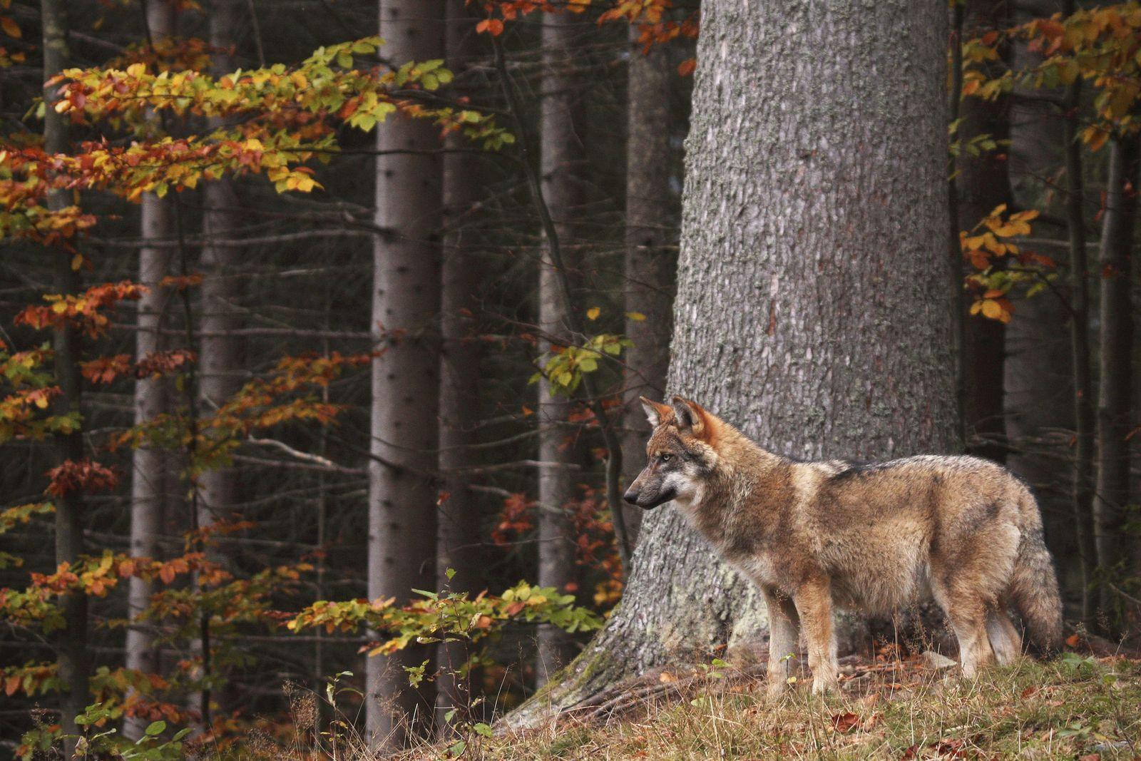 EINMALIGE VERWENDUNG Wolf/ Wald