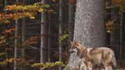 Waldkindergarten zieht wegen Wolfswarnung um