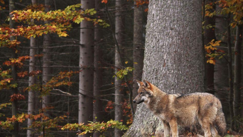 Ein Wolf soll in Dithmarschen bereits Dutzende Schafe gerissen haben (Symbolbild)