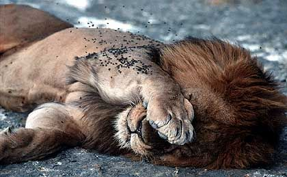 Kranker Löwe bei einem Staupe-Ausbruch am Ngorongoro-Krater: Krankheiten profitieren vom Klimawandel
