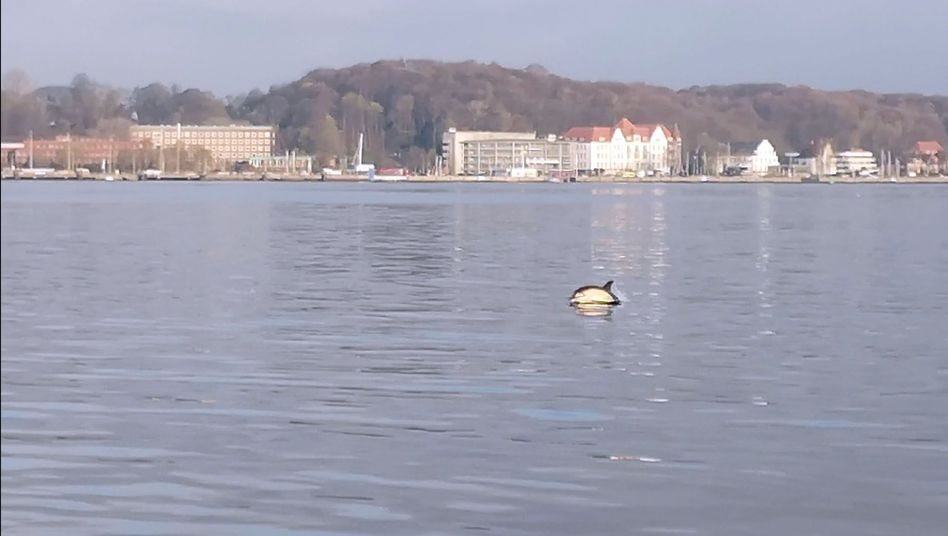 Delfin in der Kieler Förde