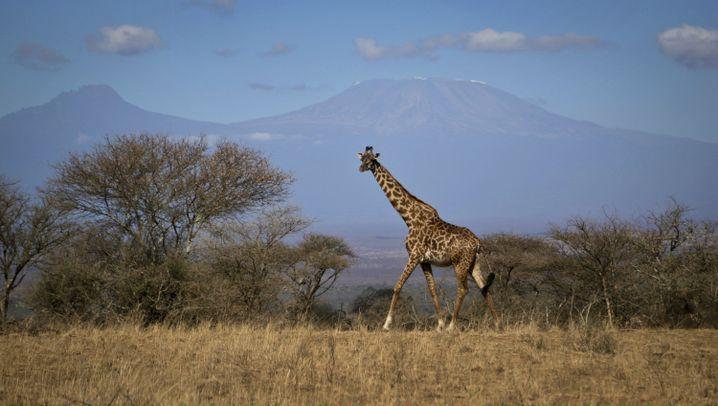 Bedrohte Art: Giraffen schwinden
