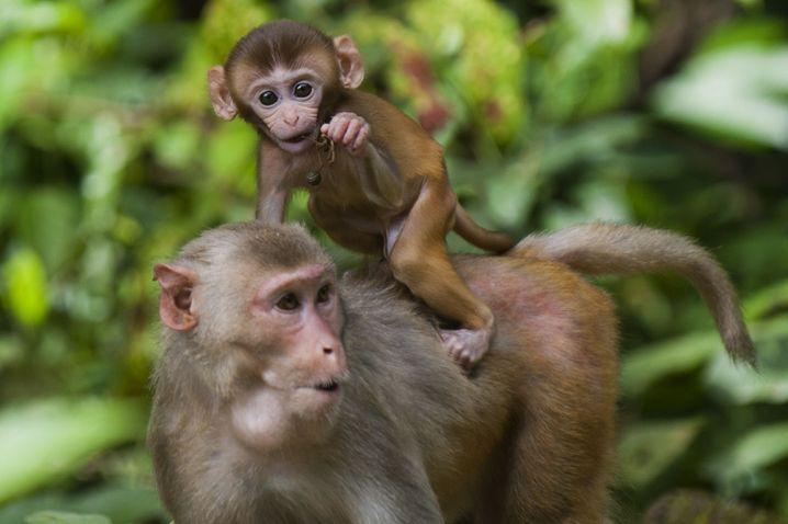 Makaken-Nachwuchs in einem Nationalpark in Myanmar