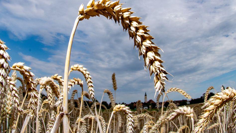 Reifer Weizen auf einem Feld in Bayern