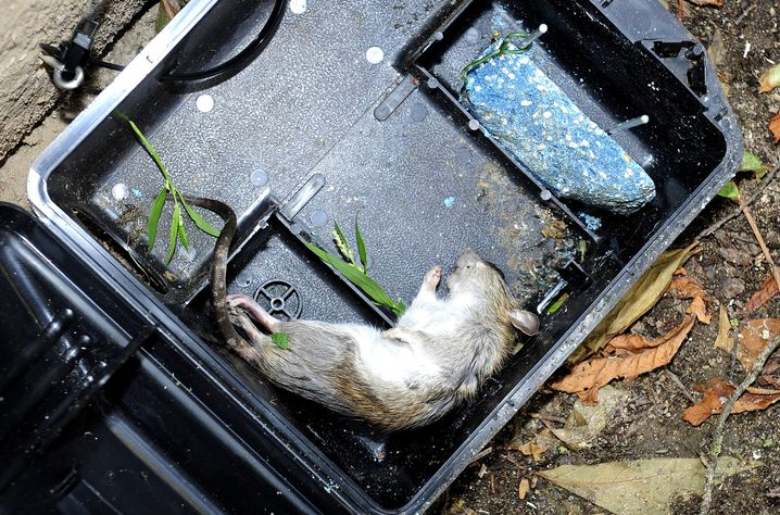 Tote Ratte