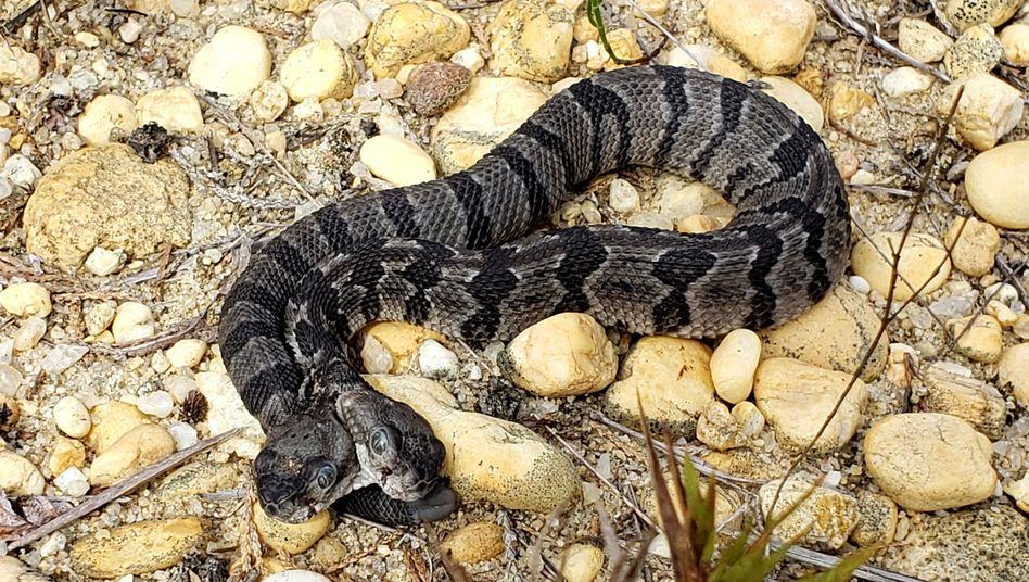 Die Zungen der doppelköpfigen Schlange bewegen sich unabhängig voneinander
