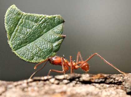 Ameise bei der Arbeit: Chemischer Trick hindert Läuse an der Flucht