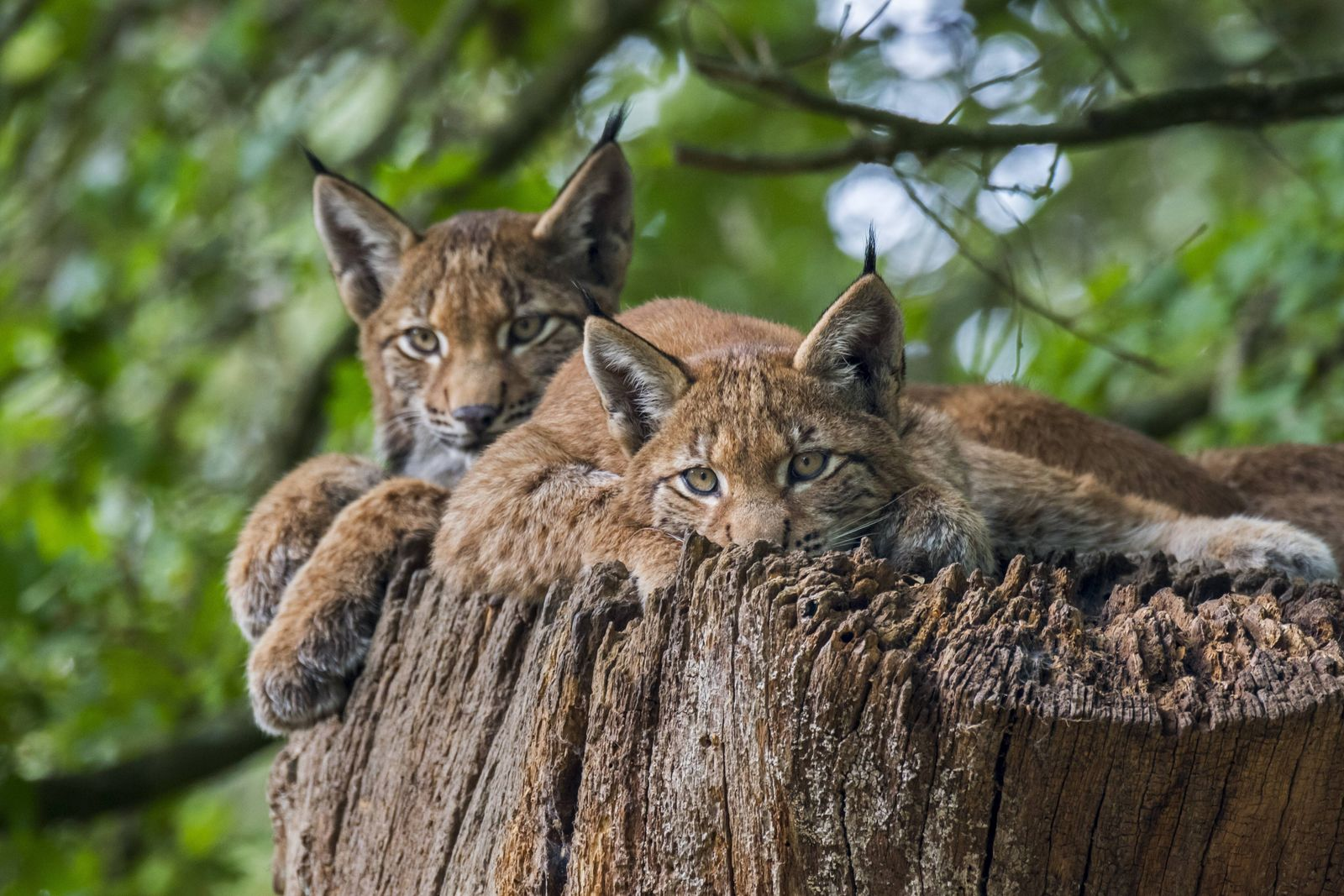 Two young Eurasian lynxes (Lynx lynx) juveniles resting on top of tree trunk in forest 333DYKDL