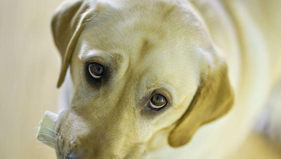 Labrador: Hunde brauchen sehr viel Kalzium