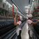 China schickt Uiguren offenbar zur Zwangsarbeit durchs Land