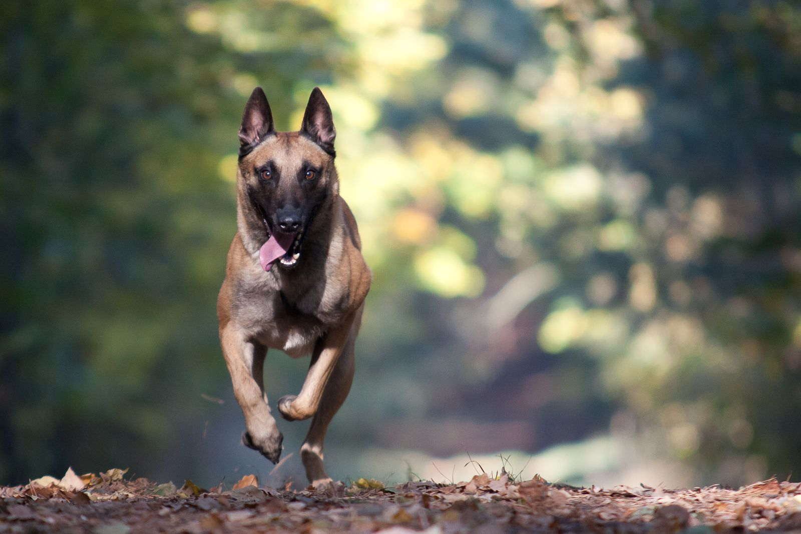 Malinois running in a forrest
