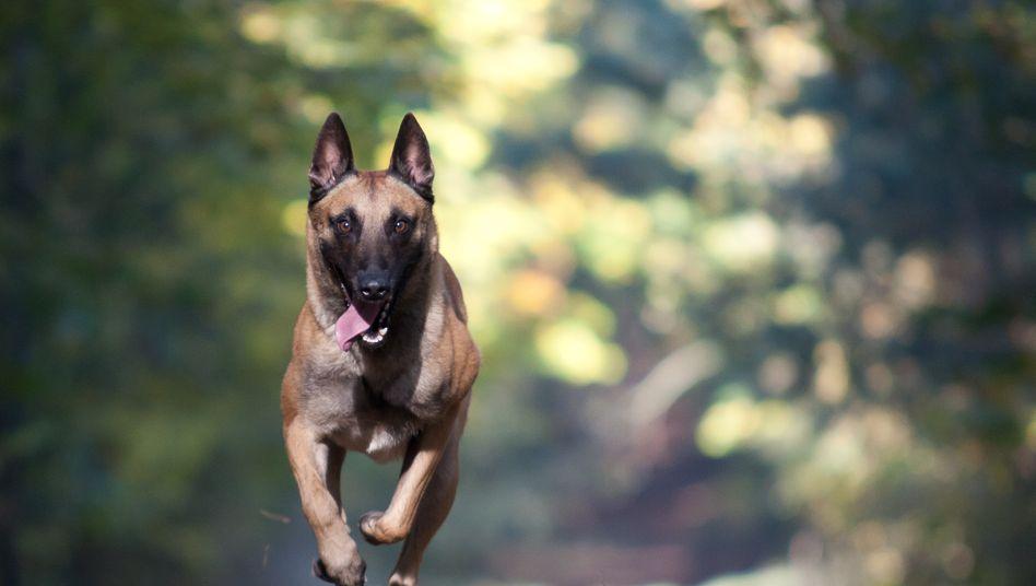 Symbolbild: Belgischer Schäferhund