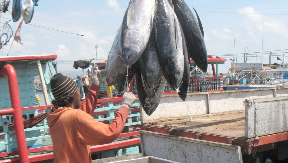 Frisch gefangene Thunfische, Hafen von Benoa auf Bali: Die Ausbeutung durch die Hochseefischerei biete Anlass zu Sorge