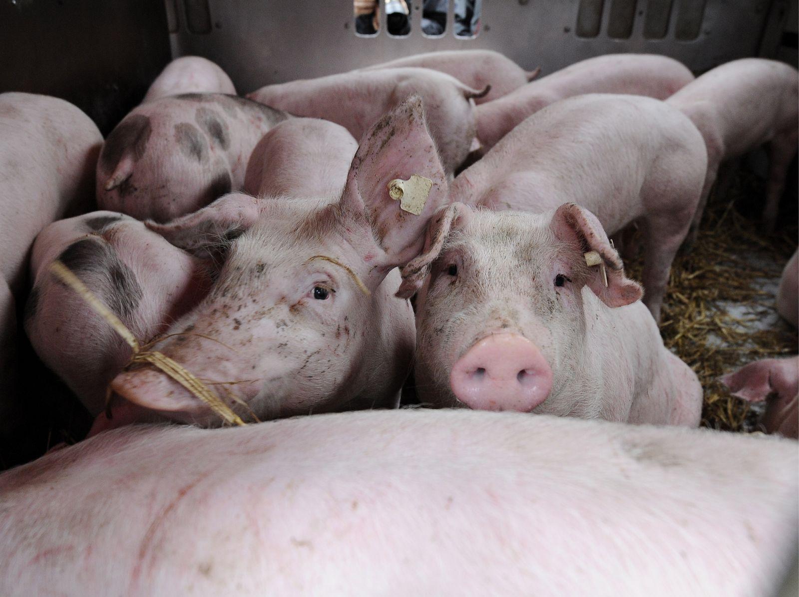 NICHT VERWENDEN Tiertransport / Schweine