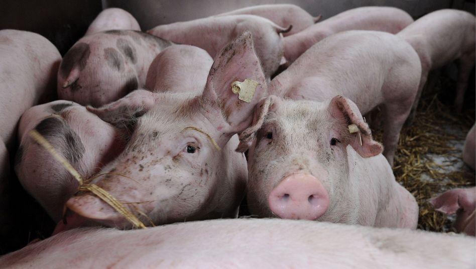 """Ferkel beim Tiertransport: """"Kein zuverlässiges Kontrollsystem"""""""