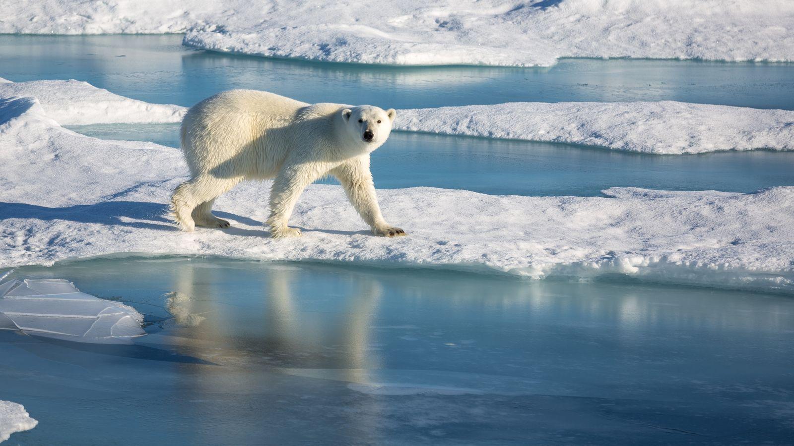 Eisbär auf arktischem Meereis