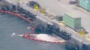 Australisches Kriegsschiff erreicht Hafen mit zwei toten Walen am Rumpf