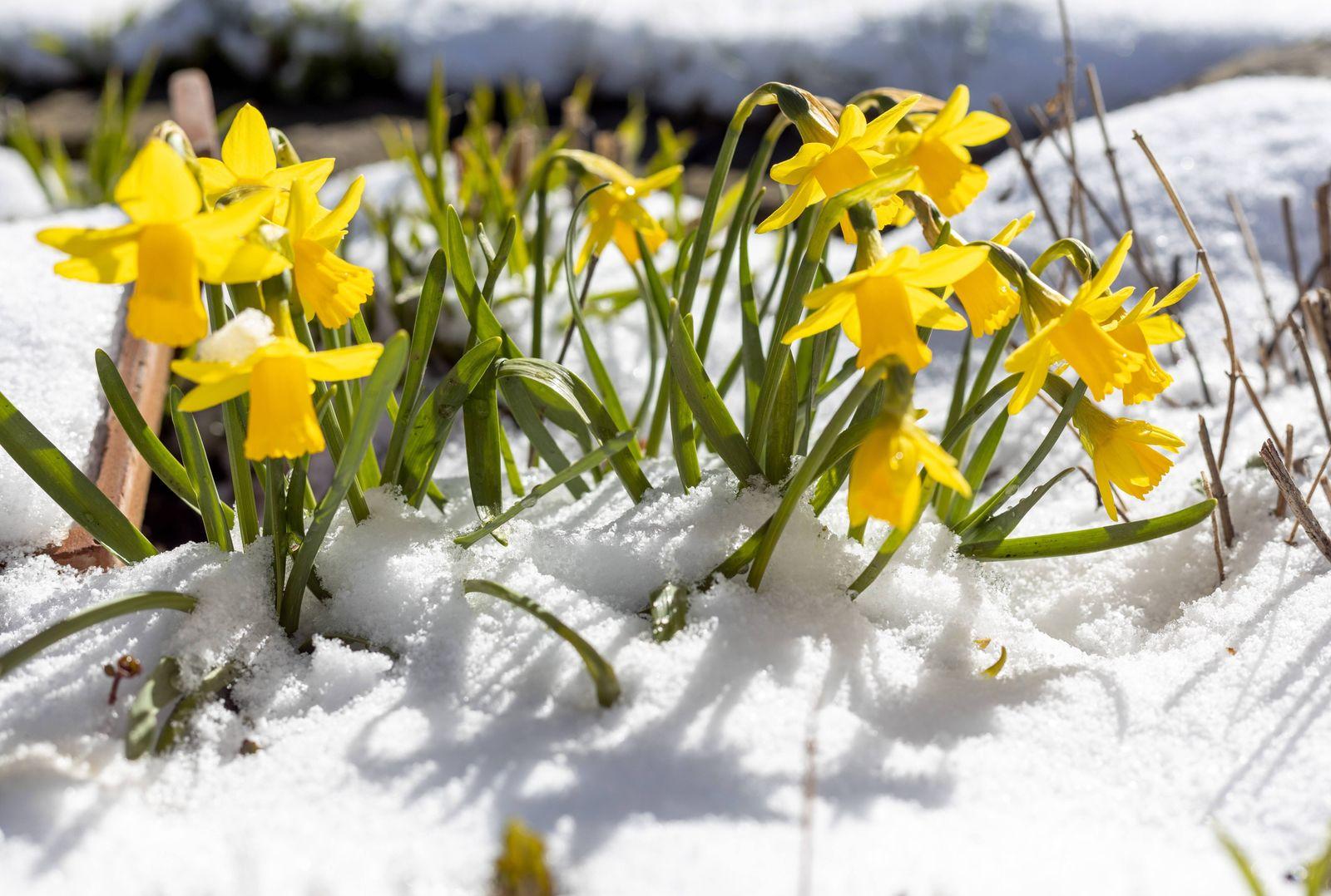Schnee im April 06.04.2021, Schmitten (Hessen): Osterglocken ragen bei Sonnenschein aus einer Schneedecke heraus., Schm