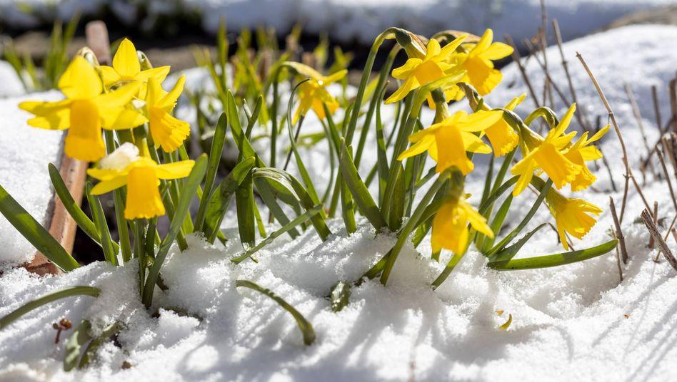 Osterglocken im Schnee (Archivbild)