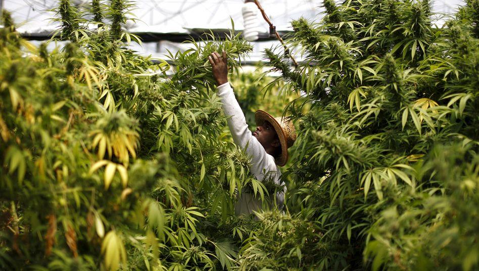 Legale Cannabis-Plantage in Israel