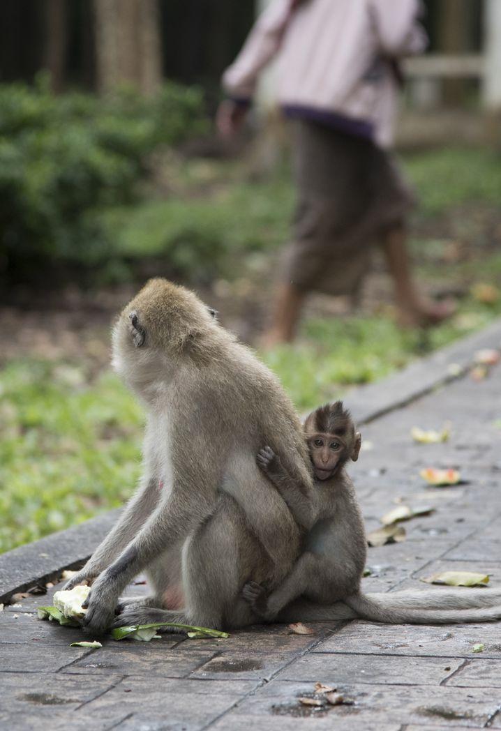 Auch Primaten können Viren auf den Menschen übertragen