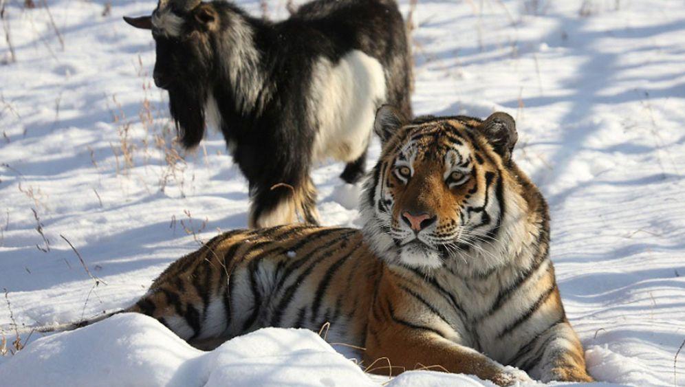 Tiger und Ziege in russischem Zoo: Amur fou