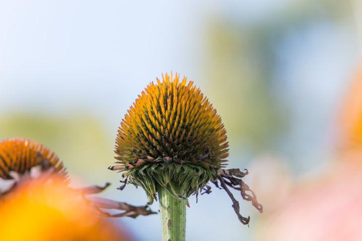 Verblühte Sonnenhüte sehen interessant aus und bieten Unterschlupf für Insekten