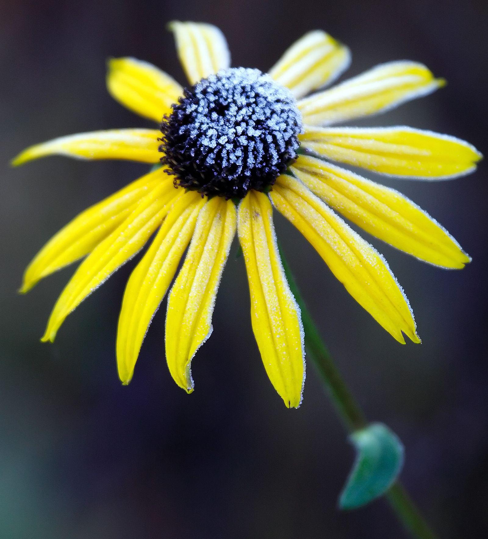 Raureif auf Sonnenhut / Heilpflanzen